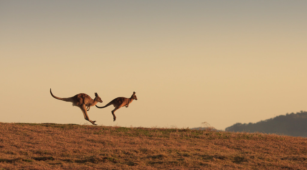 Kangaroos available from Image Library