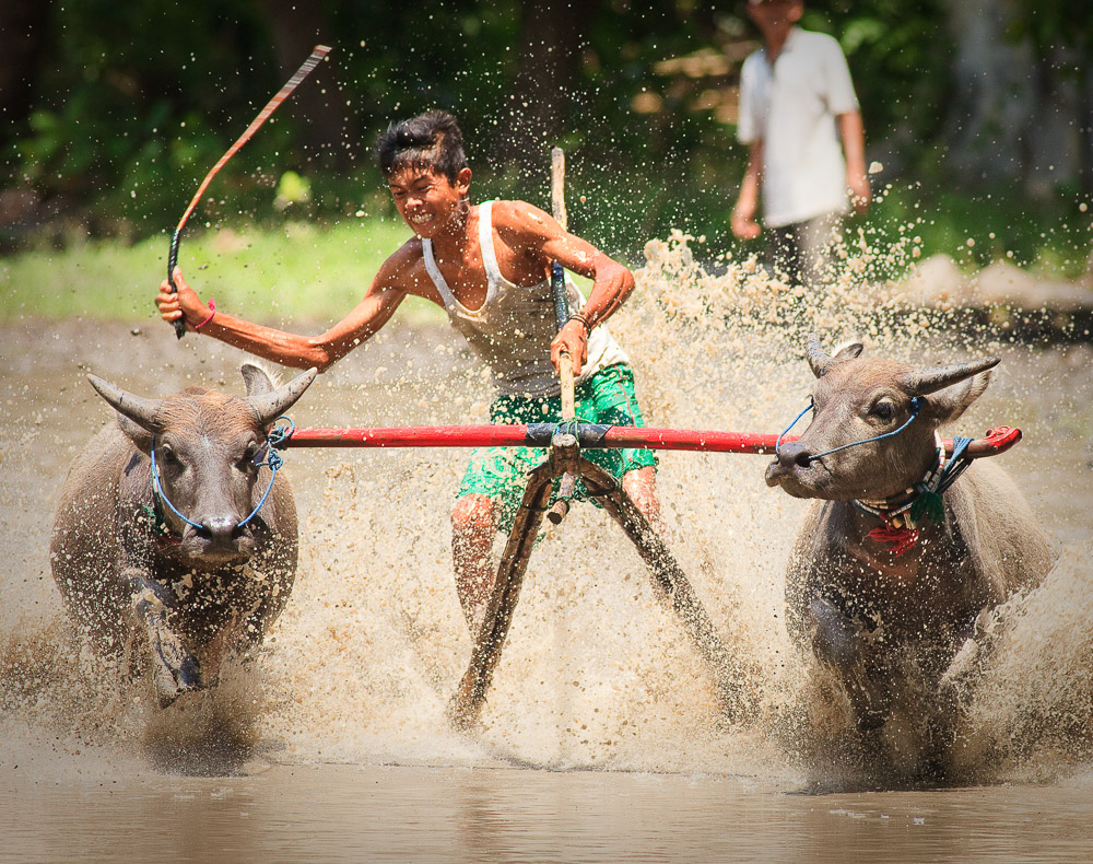 Pamalang Village, Badas, Water Buffalo Racing